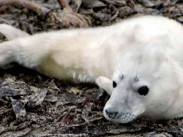 """Los cazadores de focas reclaman su """"etiqueta ecológica"""""""