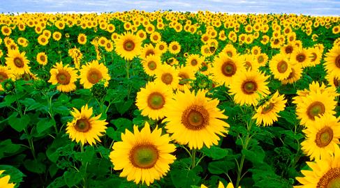 Objetivo Flora 2020: el 100% del aceite de girasol será de cultivo sostenible