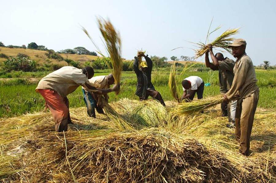 <p>Agricultores golpean arroz para desprender los granos cerca del pueblo de Kamangu, República Democrática del Congo. Foto: FAO / Olivier Asselin</p>