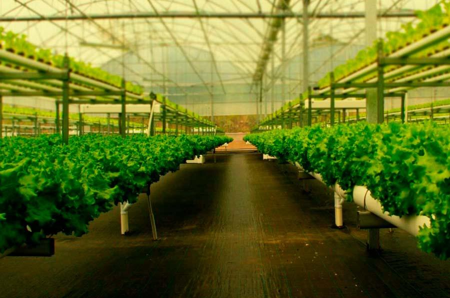 <p>H2Hydroponics utiliza soluciones acuosas con nutrientes químicos en vez de tierra para sus cultivos. Foto: H2Hydroponics. </p>