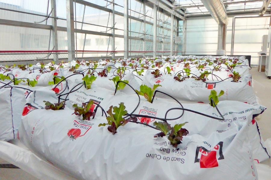 <p>Cultivo de lechugas con recirculación de lixiviados, de Fertilecity Project. Foto: Fertilecity Project.</p>