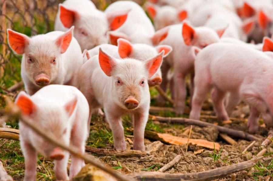 El sector porcino reduce en un 50% las emisiones de amoniaco por kilo de carne
